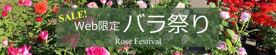 期間限定 バラ祭り バラ苗 セール